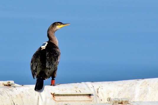 Mihi the Shag after returning from Istria to Slovenia.