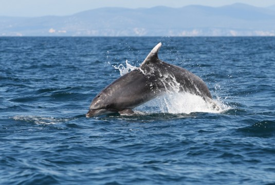 Bottlenose dolphins (Tursiops truncatus) that visit Slovenian waters, are endangered due to high concentrations of poisonous PCB chemicals which have been banned in Europe for 35 years
